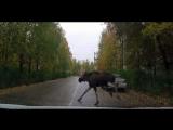 В сети появилось новое видео лося, бегавшего по улицам Сосногорска