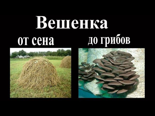 Вешенка От сена до первых грибов