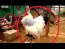 Jurassic Creature The Biggest Chicken in the world Massive Brahma Rooster Chicken Giant Chicken