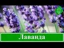 Цветы лаванда – посадка и уход в открытом грунте выращивание лаванды в саду, виды и сорта лаванды