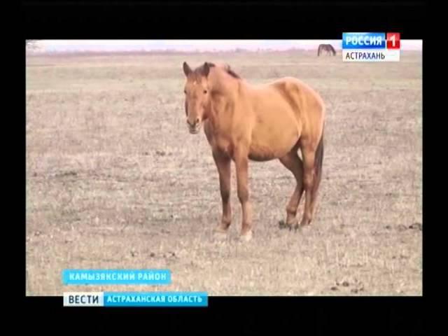 В племенных хозяйствах Астраханской области увеличивают приплод кушумских лош ...