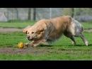 Собака выбежала на футбольное поле, поиграть с мячом