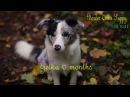 Yelka Border Collie Puppy 6 months