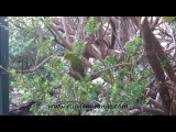 Yellow Crowned Parakeet on Ulva Island