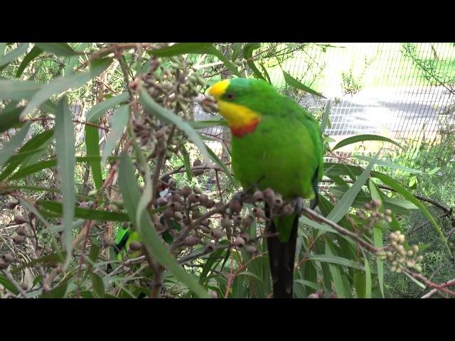 Superb Parrot, Bendigo, Victoria.