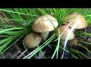 Поход в лес за грибами маслятами 14 июля 2017 Сибирь тайга тихая охота природа сбор