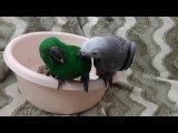 Птенцы жако и эклектус