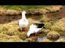 Andean Goose / Андский гусь / Chloephaga melanoptera