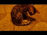 скотч и котенок