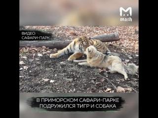 В Приморье собака Тобака и тигр Шерхан стали лучшими друзьями