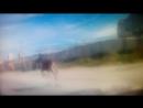 Лось, бегущий по Динамовскому шоссе. Миасс. Июнь