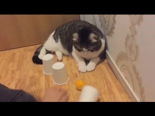 Милый кот демонстрирует невероятные навыки в игре с шариком и стаканчиками