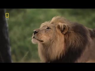 National Geographic Львы - Жизнь прайда. Документальный фильм о львах HD 720