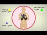 Мышцы груди