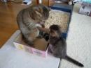 Кошка играет с котёнком