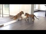 Aztlan chuffing(a tigers hello) to Labai