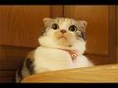 「最高におもしろ猫」笑わないようにしてください!超かわいい猫