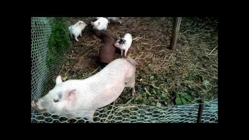 Вислобрюхая свинья в схватке с собакой