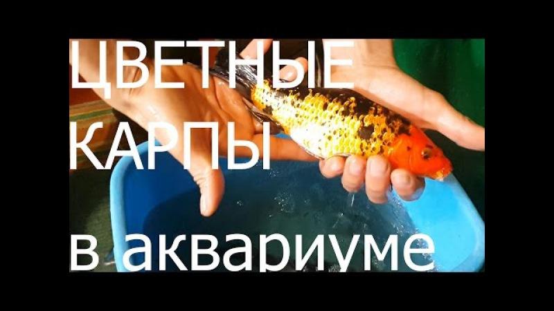 Карпы Cyprinus carpio gold fish Koi breeding koi Zucht allevamento di koi 鯉の飼育