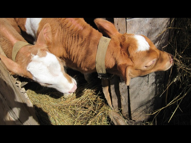 Откорм бычков младшая группа: 41 день- 2месяца