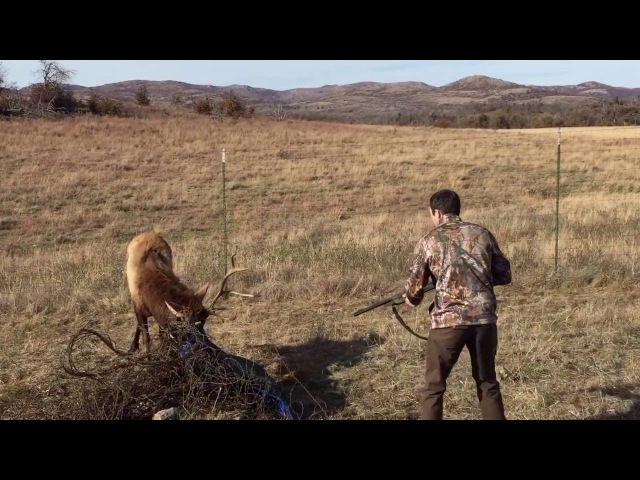Bull elk freed from barbed wire with shotgun