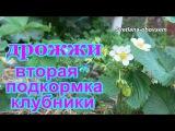 ДРОЖЖИ - СУПЕР ПОДКОРМКА для  КЛУБНИКИ во время цветения .... ДОБАВЛЯЕМ  ГУМАТ...STRAWB...