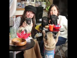 Японское кафе с мопсами