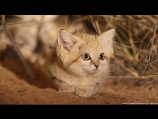 Sand Cat Kittens Spotted in the Wild for First Time