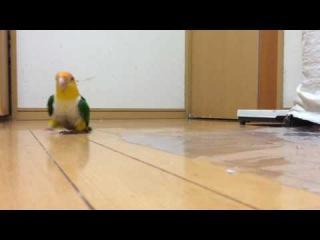 Забавный императорский попугай с причудами