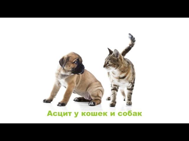 Асцит у кошек и собак. Ветеринарная клиника Био-Вет.