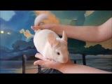 Видео обзор Шиншиллы Бело розовый бархат