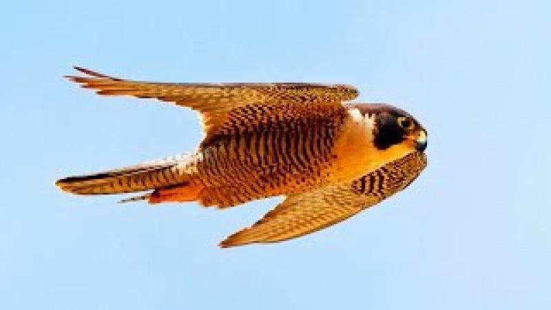 Сапсан –самая быстрая птица на Земле. Сила хищных птиц. Дикая природа. Фильм Nat G...