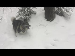 Люта моя собака западно сибирская лайка 2017