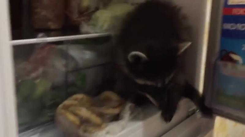 Смешное видео с енотами Смешные еноты полоскуны Приколы 2017 – Смешные кошки МатроскинТВ