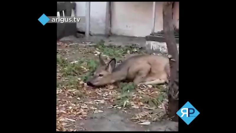 В Улан-Удэ горожане обнаружили на улице косулю