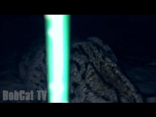 Grumpy_big_catBobCat_Lynx_Live110