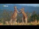 Смертельная драка кенгуру