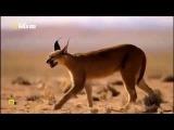 Big Cats - El nacimiento de la familia - Documental
