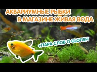 Аквариумные рыбки GLOFISH в магазине Живая Вода (Санкт-Петербург)