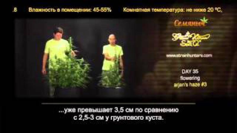Arjan's Haze 3 | гроу репорт Green House Seeds с переводом от магазина Семяныч