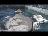 30.04.2017 Polar Bear plays in Moscow Zoo