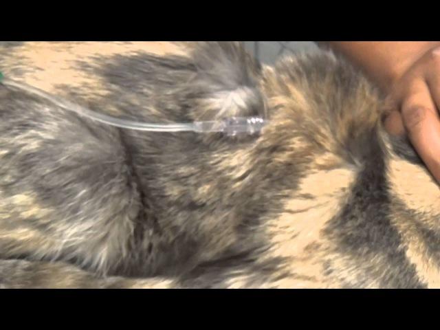 Обезвоживание у старой кошки / Deydration, Subcutaneous fluids, Blood Draw, Older Cat