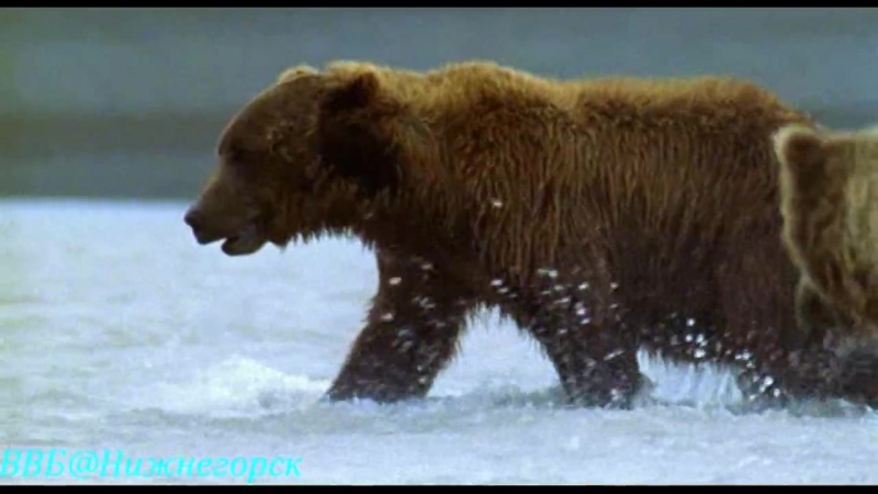 Ребятам о зверятах - Медвежонок Гас (Документальный)