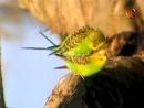 Документальный фильм про волнистых попугаев