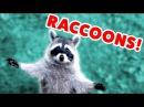 RACCOON STEALS DEER'S FOOD MORE Funny Raccoon Videos of 2016 | Funny Pet Videos