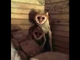 Creepy Barn Owls bobbing and hissing (Tyto Alba)