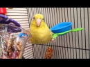 Silly Parrotlet Being Weird