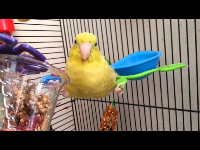 Silly Parrotlet Being Weird » Freewka.com - Смотреть онлайн в хорощем качестве