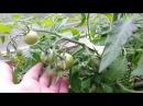 Уход за томатами помидорами в теплице, опыление