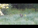Медведица с медвежатами лакомятся на овсяном поле